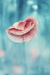 Red poppy and natural background - INGF00186