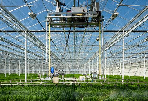 Growing chrysanthemums in modern Dutch greenhouse, Maasdijk, Zuid-Holland, Netherlands - CUF45361