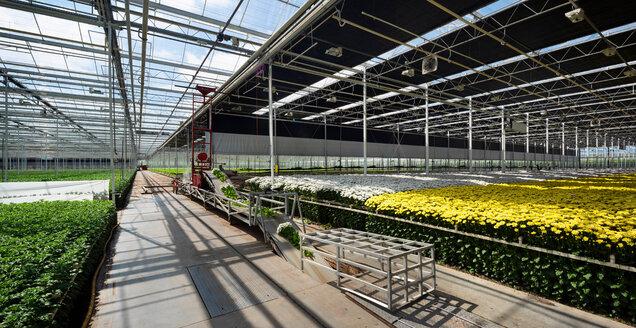 Conveyor belt for fresh cut chrysanthemums in modern Dutch greenhouse, Maasdijk, Zuid-Holland, Netherlands - CUF45367
