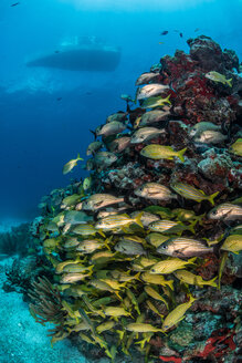 Caribbean fish gather around reef with boat silhouette in the surface, Puerto Morelos, Quintana Roo, Mexico - CUF45619