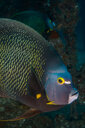 Portrait of French angelfish, Isla Mujeres, Quintana Roo, Mexico - CUF45622
