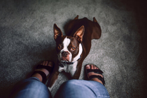 Boston terrier dog lying down at woman's feet, personal perspective - ISF19856
