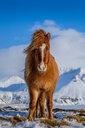 Island Pony - INGF00488