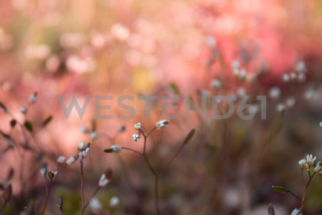 Close-up of pink flowers growing out in nature - INGF00497