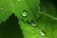 Close-up of a wet green leaf - INGF00770