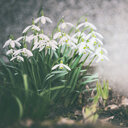 Close-up of growing white flowering plants - INGF00878
