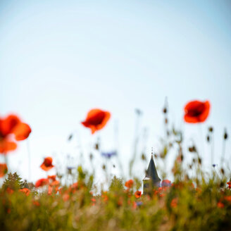 Close-up of fresh poppies in a field on a clear day - INGF01235