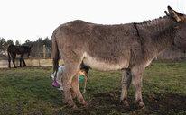 Cute girl hiding under donkey in pasture - FSIF03314