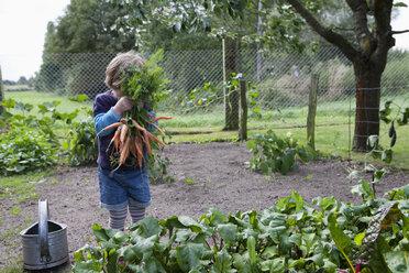 Girl harvesting carrots in vegetable garden - FSIF03329