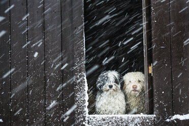 Portrait dogs watching snow from barn window - FSIF03356