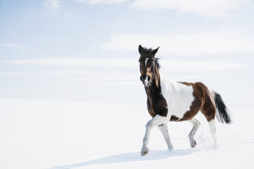 Beautiful brown and white horse running in snowy field - FSIF03365
