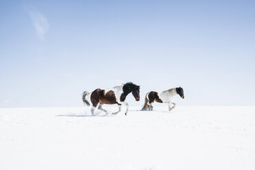 Brown and white horses running in sunny, snowy field - FSIF03374
