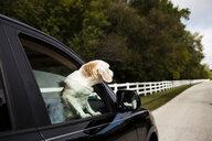 Dog looking through car's window - CAVF49129