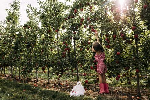 Full length of girl harvesting apple from tree at farm - CAVF49132