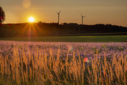 Germany, flowering scorpionweed in summer, wind park at sunset - HAMF00477