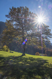 Germany, Upper Bavaria, Chiemgau, tree in autumn against the sun - HAMF00515