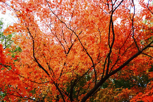 Germany, Maple tree in autumn - JTF01105