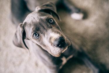 Great Dane puppy - INGF01971