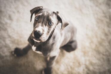 Great Dane puppy - INGF01974
