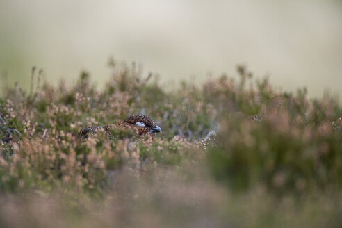 UK, Scotland, Red grouse in heather - MJOF01583