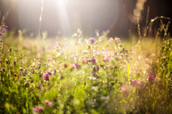 Summer meadow at evening twilight - SARF03955