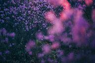 Pink wildflowers - VPIF00920