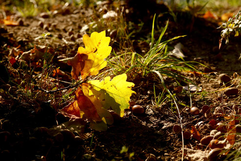 Germany, Oak leaves in autumn - JTF01109