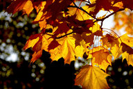 Germany, maple leaves in autumn - JTF01112