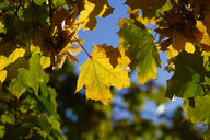 Germany, marple leaves in autumn - JTF01114