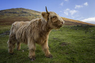 UK, Scotland, Highlands, highland cattle on a meadow - MJOF01596