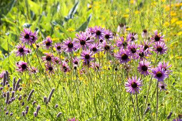Botanic Garden, purple coneflowers - NDF00805