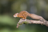 Red squirrel preparing to jump - MJOF01599