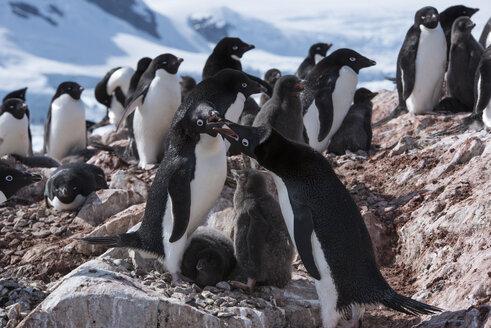 Penguins on rocks during winter - CAVF51124