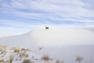 Mid distance view of dog standing on desert at White Sands National Monument - CAVF51236
