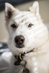 Close-up portrait of dog at home - CAVF51317