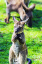 Australia, young kangaroo, mother animal in the background - THAF02307