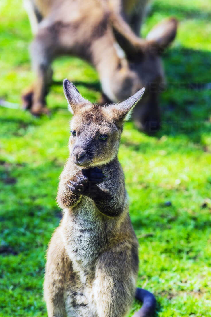 Australia, young kangaroo, mother animal in the background - THAF02307 - Thomas Haupt/Westend61