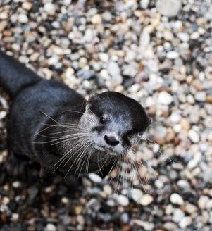 Otter - INGF03888