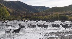 Deer running in river against mountains at Yukon_Charley Rivers National Preserve - CAVF51488