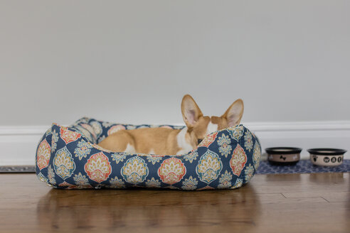 Welsh Corgi lying in pet bed on hardwood floor against wall at home - CAVF51923