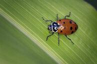 High angle close-up of ladybug on leaf - CAVF52091
