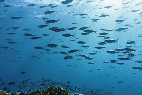 School of tropical fish swimming underwater in blue ocean, Vava'u, Tonga, Pacific Ocean - HOXF04175