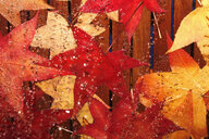 Wet autumn leaves of red gum - JTF01117