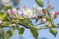 Apple tree, Apple blossoms - CRF02806