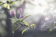 Apple tree, Apple blossoms, sunlight - CRF02809