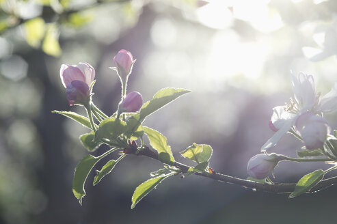 Apple tree, Apple blossoms, sunlight - CRF02809