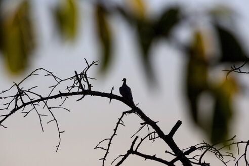 Dove perching on dead tree - NDF00815