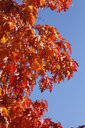 Oak tree, oak leaves in autumn - JTF01118
