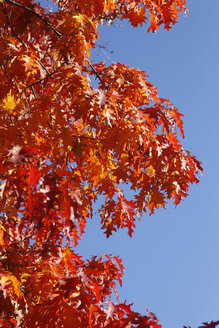 Oak tree, oak leaves in autumn - JTF01118