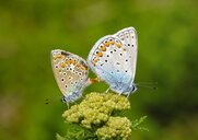 Albania, Valbona National Park, common blue butterflies copulating - SIEF08077